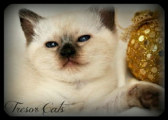 Traditional Siamese Kittens For Sale in California
