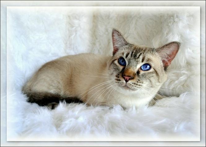 Snow Tiger Lynx Siamese Balinese Description History