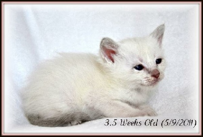 siamese amp balinese kitten growth timeline tresor cats in ca