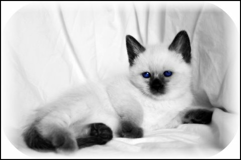 Seal Point Siamese Kitten In Black And White Effect