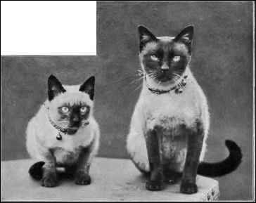History & Breed Information on Siamese Cats & Kittens (Tresor Cats)