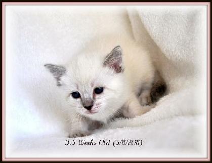 Kitten development 14 weeks