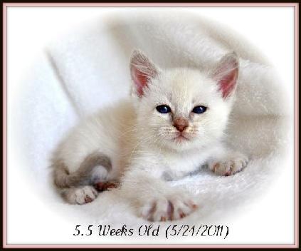 Siamese Balinese Kitten Growth Timeline Tresor Cats In Ca