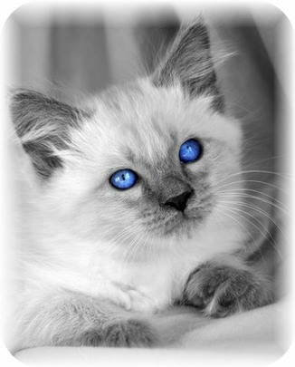Balinese Cat History Balinese Breed Origin Information