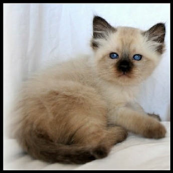 Seal Point Balinese Kittens For Sale In California