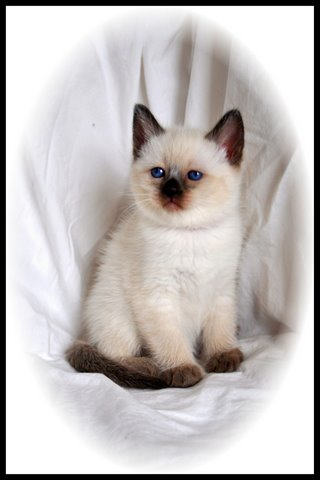 History & Breed Information on Siamese Cats & Kittens