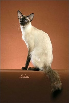 Balinese Cat History Balinese Breed OriginInformation