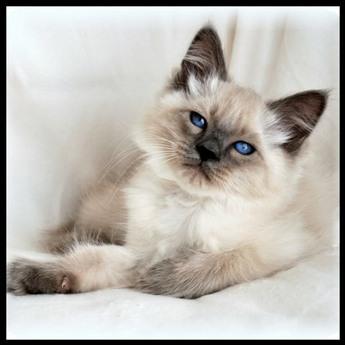 Balinese Cat History Balinese Breed Origin Information