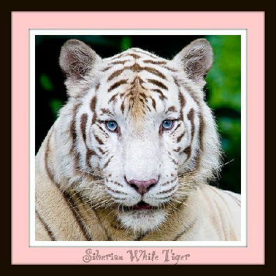 from tiger cub to siamese cat Cats, from house cat to tiger, siamese to can you raise a tiger by feeding him vegetables update tiger as a vegetarian if i only feed it vegetables as a cub.